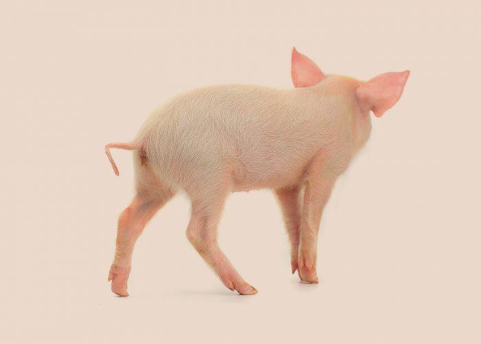 Marcepan iszelki dla świni